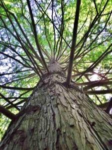 Lake Worth Champion Bald Cypress
