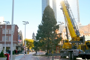 Workers cut the straps on the nearly 60-foot blue spruce unleashing its wide branches from the trunk. The tree will be lit this Friday