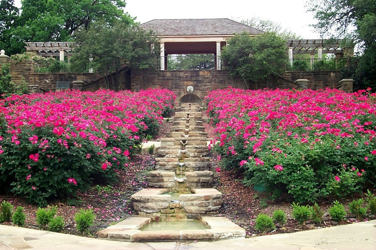 Deadly Virus Killing Roses In Fort Worth Across The State The Detail Newspaper