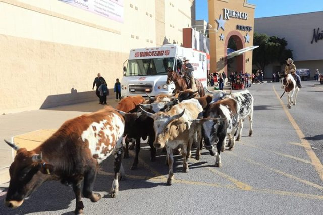 salvation army cows